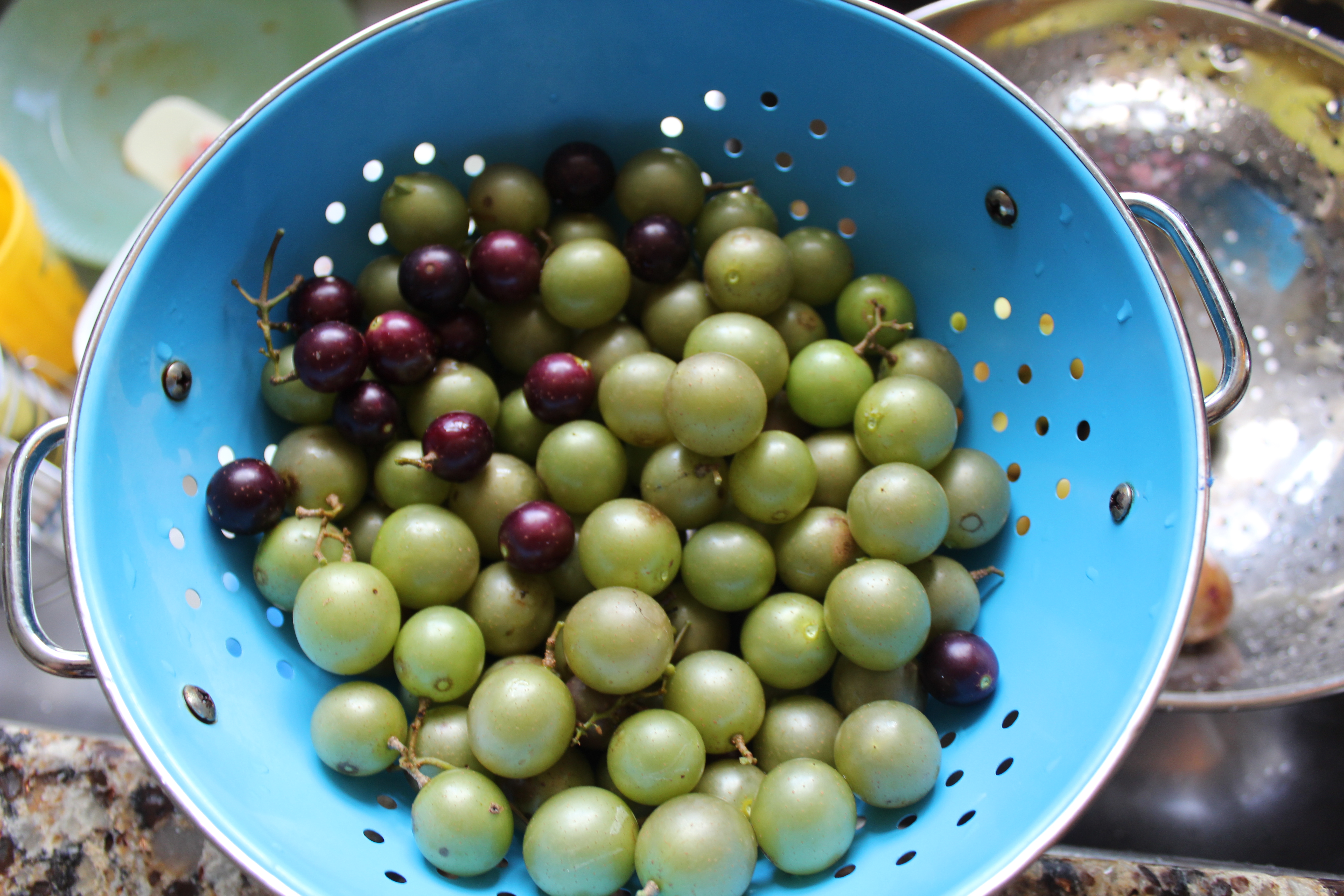 Muscadines are grapes that are native to the Southern US. Scuppernongs are the green/bronze variety of Muscadines pictured here.
